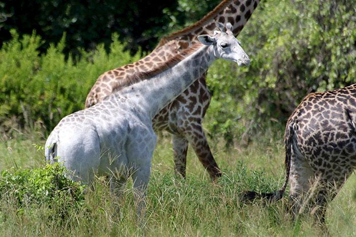 Giraffe Geräusch