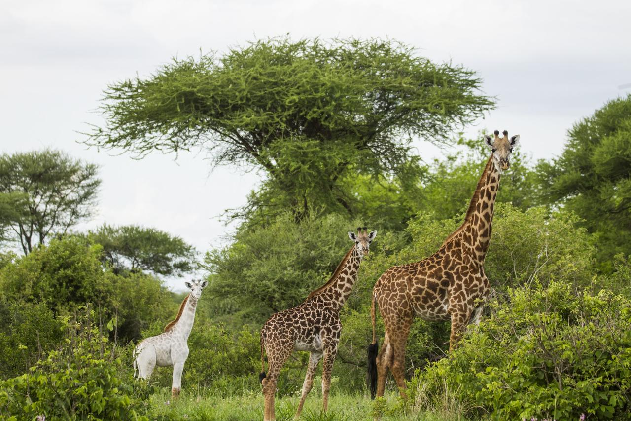 """Omo"""": Wenn eine weiße Giraffe nach einem Bleichmittel benannt wird ..."""