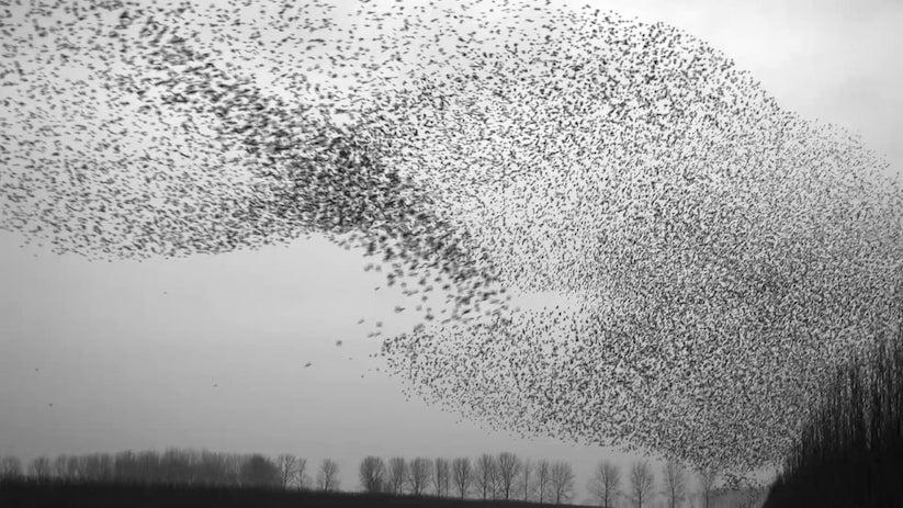 """""""The Art of Flying"""": Eine beeindruckende Flugshow von Starenschwärmen"""