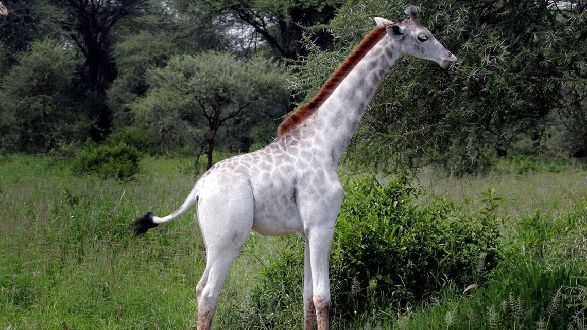 """""""Omo"""": Wenn eine weiße Giraffe nach einem Bleichmittel benannt wird"""